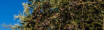 Koroneiki olijf