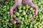 Rechtstreeks uit de olijfgaard