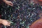 Zongerijpte olijven
