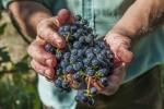 Zorgvuldig geselecteerde druiven